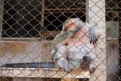 在泰国的寺庙的猴子 免版税库存图片