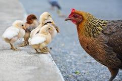 在泰国的小鸡家庭 库存图片