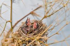 在泰国的巢的婴孩条纹有耳的歌手鸟 免版税库存图片