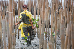 在泰国的海岸的美洲红树重新造林 库存照片