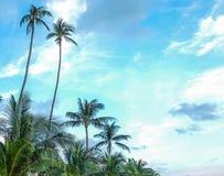 在泰国的酸值苏梅岛的可可椰子树 库存图片