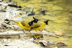 在泰国的黑有顶饰歌手鸟 免版税库存照片
