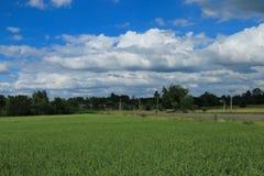 在泰国的稻田 库存照片