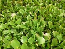 在泰国的canel的普通植被 库存照片
