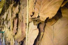 在泰国6烘干叶子墙纸 库存图片