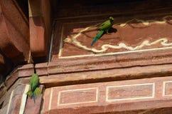 在泰姬陵的长尾小鹦鹉,阿格拉,北方邦,印度 免版税库存图片