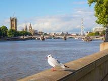 在泰晤士河堤防的一只在背景的海鸥与大本钟,议会议院和伦敦眼 免版税库存图片