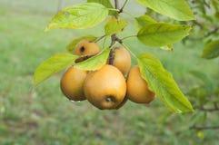 在洋梨树分行的苹果与绿色叶子 免版税图库摄影