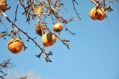 在洋梨树的金黄梨 免版税图库摄影