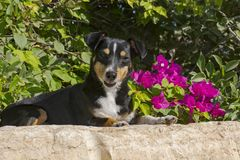在洋红色九重葛花前面的微笑的狗 免版税图库摄影