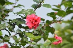 在洋红色颜色的小花与绿色叶子 免版税库存图片