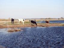 在洪水区域,立陶宛的母牛动物 免版税库存照片