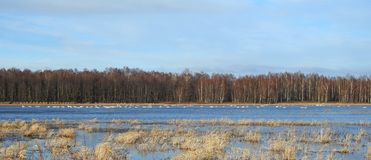 在洪水区域,立陶宛的天鹅鸟 免版税库存图片
