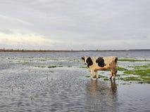 在洪水区域,立陶宛的母牛 免版税图库摄影