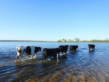 在洪水区域,立陶宛的母牛 库存照片