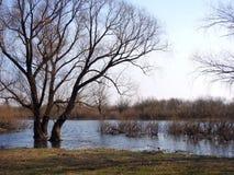 在洪水区域,立陶宛的美丽的树 免版税库存图片