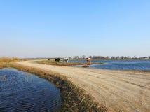 在洪水区域,立陶宛的路和母牛动物 库存图片