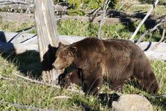 在活动中的北美灰熊 库存照片