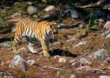在活动中的老虎 免版税库存照片