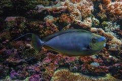 在活珊瑚礁附近的蓝色bignose独角兽鱼 库存照片