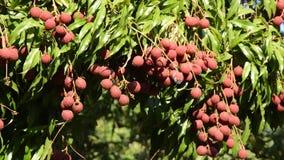 在流动从风打击的分支的Lychee热带水果在农场 影视素材