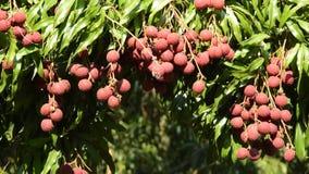 在流动从风打击的分支的Lychee热带水果在农场 股票录像
