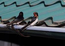 在流失的两只燕子 库存照片