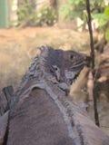 在流洒标度的水族馆的鬣鳞蜥 免版税库存图片