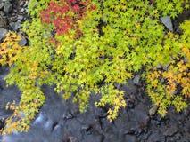 在流的秋叶槭树 库存照片