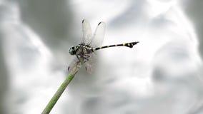 在流程的Clubtail蜻蜓 股票录像