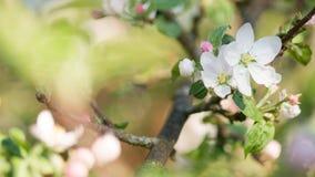 在浅兰的天空关闭前的白色苹果树开花 免版税库存图片