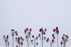 在浅兰的背景的干燥桃红色玫瑰 图库摄影