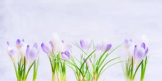 在浅兰的背景的紫色春天番红花花 库存照片