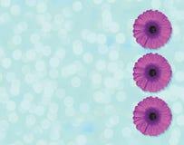 在浅兰的背景隔绝的圈子的美丽的紫色格伯花开花 免版税图库摄影