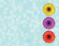 在浅兰的背景隔绝的圈子的美丽的黄色,紫色和红色大丁草花开花 库存照片