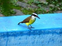 在浅兰的表面上的Quitupi 黄色色的胸口鸟 免版税库存图片