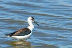在浅水区反射Himantopus himantopus趟水者鸟高跷的黑飞过的高跷 库存图片