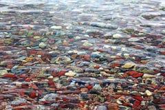 在浅水区的小卵石在红海在埃拉特,以色列 库存图片