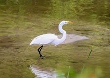 在浅水区的巨大白色苍鹭身分在Watercrest公园,达拉斯,得克萨斯 免版税库存照片