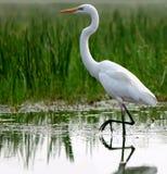 在浅水区的极大的白鹭 免版税库存图片