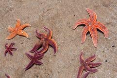 在浅浪潮池的海星 库存照片