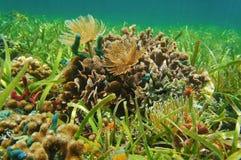 在浅海底加勒比海的水下的生活 免版税库存照片