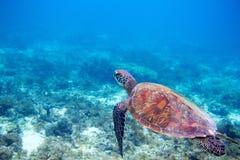 在浅海水的海龟 绿浪乌龟特写镜头 热带珊瑚礁野生生物  库存照片