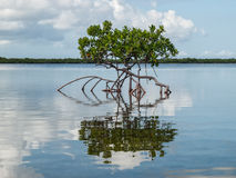 在浅海湾的红色美洲红树 免版税图库摄影