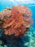 在浅电大海的巨型桃红色海底扇 库存图片