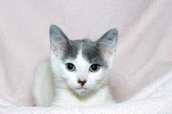 在浅粉红色的毯子的灰色和白色平纹小猫 免版税库存图片