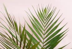在浅粉红色的背景的绿色棕榈叶 库存照片