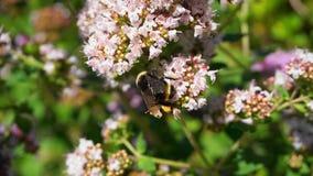 在浅紫色的花草甸的一只土蜂  免版税库存图片