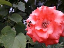 在浅红色的蜜蜂上升了寻找花蜜 免版税图库摄影