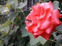 在浅红色的蜜蜂上升了寻找花蜜 库存图片
